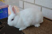 Rabbit for sale St Leonards Willoughby Area Preview