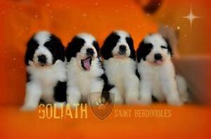 Saintberdoodle puppies for sale NON SHEDDING NON DROOL TYPE