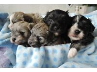 Beautiful pure Havanese puppies looking new homes