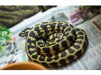 Jungle Carpet Python and setup