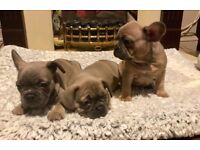 TOP quality FRENCH BULLDOG PUPPIES*KC*