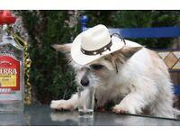 fluffy dog Chinese Crested powder puff x chihuahua £150 ono