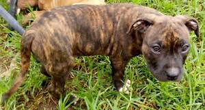 Pure bred pedigreed puppies for sale!!! (Males only) Sydney City Inner Sydney Preview