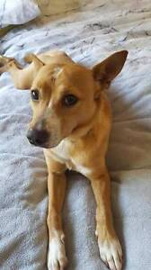 Bruno – small male Fox Terrier cross Claremont Meadows Penrith Area Preview