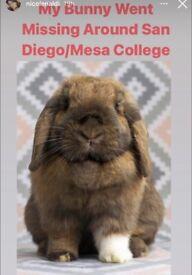 Missing Rabbit In San Diego