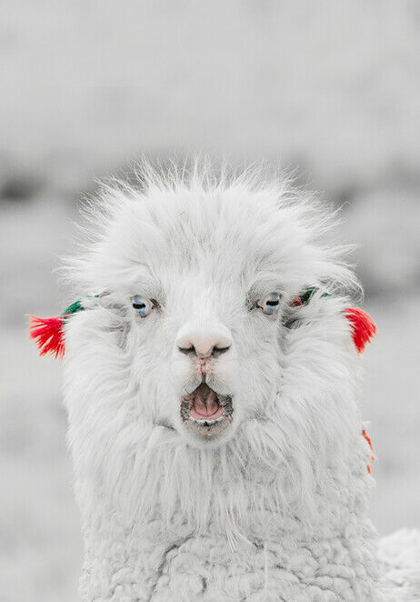 Funny Llama Lama Alpaca Cow Animal Natural Canvas Print A3 Ebay