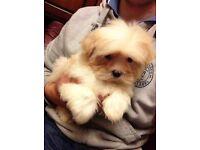 cavachon fluffy puppies cute non molting puppy