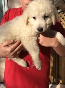 KUVASZ - Livestock Guardian & loyal hypoallergenic family dog