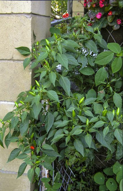 Chillies in hanging baskets -  my favourites