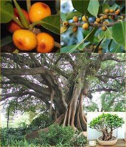 Rusty Figs x8 native Bushtucker/bonsai Eungai Creek Nambucca Area Preview