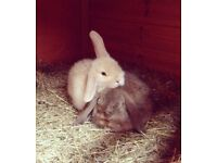 Lop rabbits x2 for sale