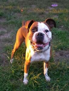 """Adult Male Dog - Boxer: """"Woogie"""""""
