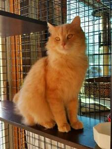 "Adult Male Cat - Domestic Long Hair-Maine Coon: ""DOWNIE"""
