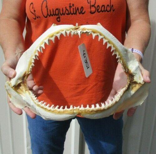 14 inch Blacktip Shark jaws Teeth mouth Taxidermy #41351