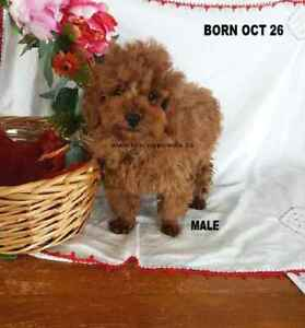 Red Teacup  Poodle Puppies 3 year warranty