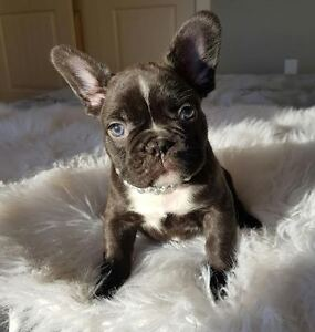 CHOCOLATE FRENCH BULLDOG PUPPIES! REDUCED PRICING!