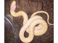 Albino Chequered Garter NO OFFERS