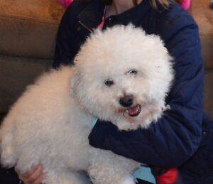 5 years old Bichon/Poodle mix for rehoming