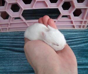 Portée de 2 jeunes bébés lapins Nain Polonais