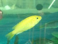 yellow labs white labs also other cichlids call 07713154980 doncaster