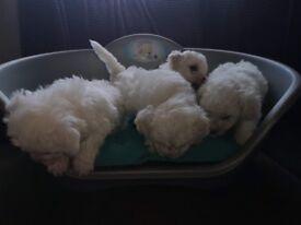 4 Bichon Frise puppies for sale