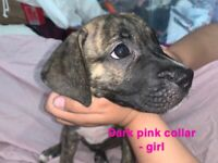 READY TO LEAVE NOW PUPPIES PUPPY STAFFY X CANE CORSO
