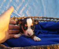 Chihuahua puppies , gorgeous coloring, ready now