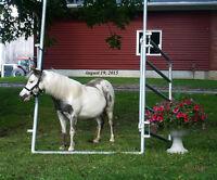 AMHR / AMHA Proven Miniature Stallion / AMHR OVERO BROODMARE