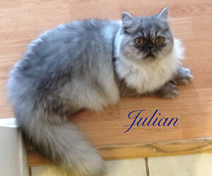 Adult Persians for sale