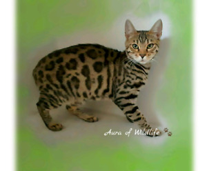 Only one left. TICA REGISTERED BENGAL