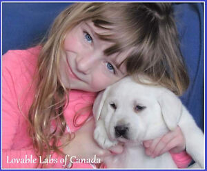 Beautiful White English Labrador CKC Reg puppy