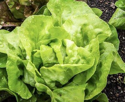 Organic Lettuce Buttercrunch Vegetable Seeds Packet 1 GRAM Butter lettuce USA (Organic 1 Packet)