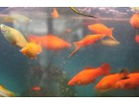 Swordtails light orange various sizes