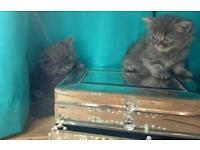Pedigree British shorthair/longhair kittens,blue, silver tabby, tortoiseshell, fluffy, grey