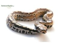 male blood python