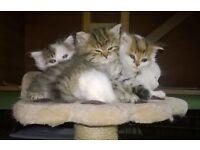 Persian Chinchilla Kittens 3/4bred
