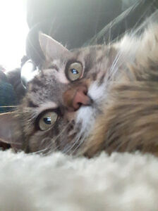 FREE - Loveable Cat needs permanent family