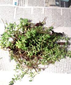 FREE- sedum SUCCULENT PLANTS