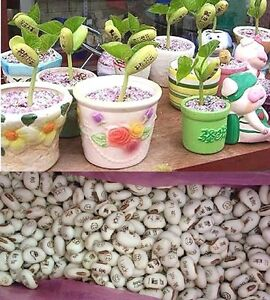 FD611 Office Home Desk White Magic Bean Seeds Plant Growing Message Word ~10PCs