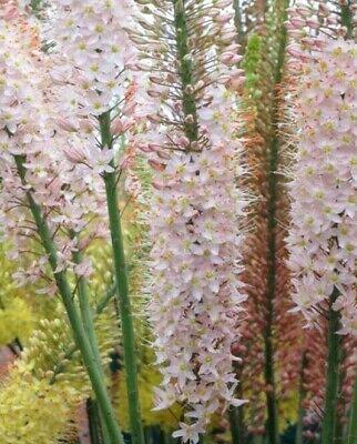 LARGE EREMURUS ROMANCE - Salmon Pink -  FOXTAIL LILY - Perennial Hardy Plant