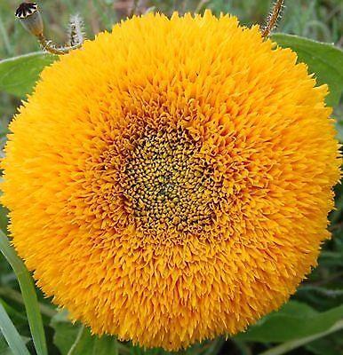 Sonnenblume 20 Samen (20 Samen Kleine Sonnenblume mit riesigen gelb gefüllten Blüten)