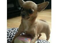 Beautiful chihuahua smooth coat