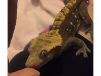 Male crested gecko for sale