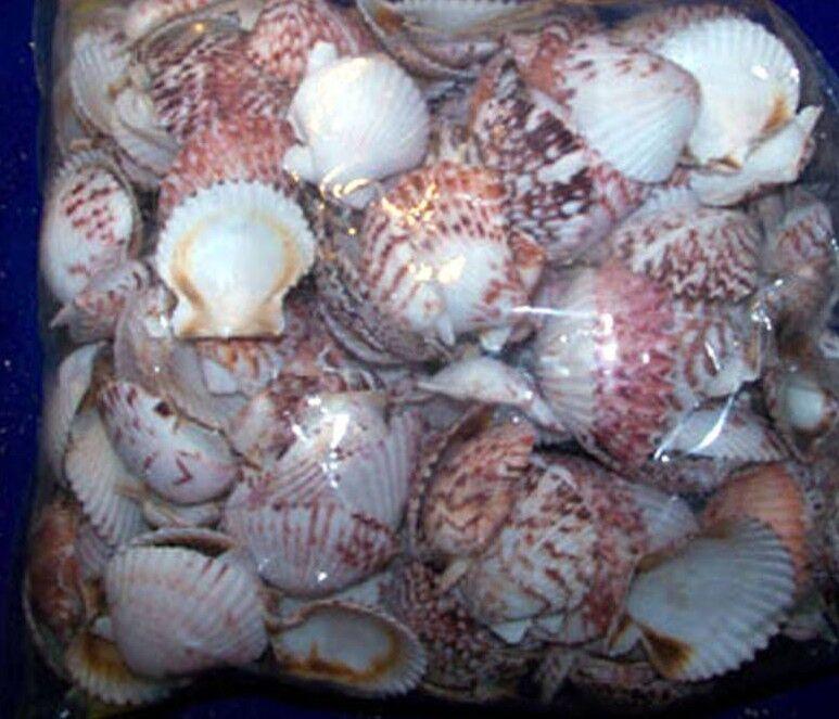 25+  CALICO SCALLOP  SEASHELLS SEA SHELLS  CRAFTS  ITEM # 1028-25