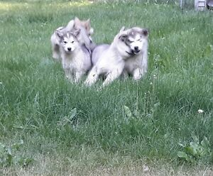Alaskan Malamutes for sale - CKC registered