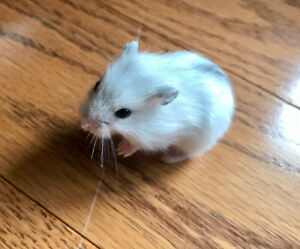 Hamster nain Winter white