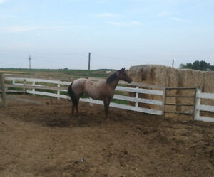 6 year old broke ranch horse