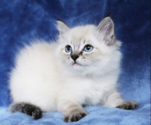Lynx Point Female Ragdoll Kitten for Adoption