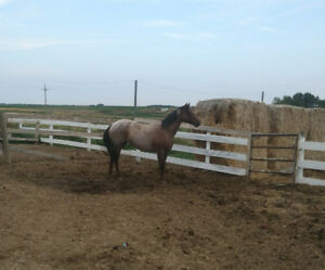 6 year old broke ranch horse for sale