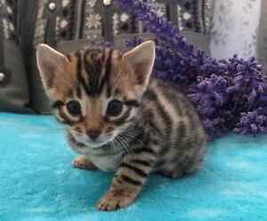 Bengal | Adopt Cats & Kittens Locally in British Columbia